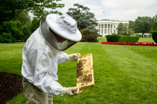 Beekeeper Charlie Brandts works with the beehive on the South Grounds of the White House, May 29, 2015. (Official White House Photo by Pete Souza)